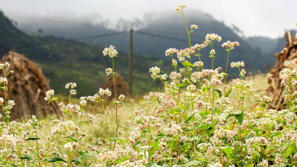 buckwheat blossoming in northern vietnam